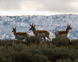 Pronghorns Above Yellowstone Picnic Area.jpg