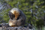 Marmot Cleaning Itself.jpg