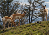 Pronghorns on the Hill Above Yellowstone Picnic Area.jpg