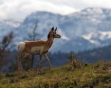 Pronghorn with Mountains.jpg