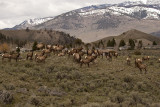 Elk Herd Near Mammoth.jpg