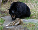 Black Bear Washing Himself Near Tower.jpg