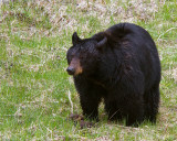 Black Bear Grazing Near Tower.jpg