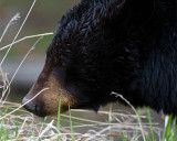 Black Bear Full Face Near Tower.jpg
