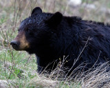 Black Bear in the Sage Near Tower.jpg