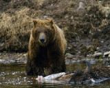 Second Grizzly on the Carcass Near LeHardy Rapids Staring into the Camera.jpg