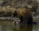 Second Grizzly at LeHardy Rapids Standing on the Carcass.jpg
