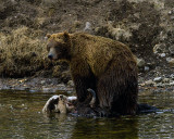 Second Grizzly Standing on the Carcass at LeHardy Rapids.jpg