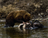 Second Grizzly Eating Off the Bison Carcass at LeHardy Rapids.jpg
