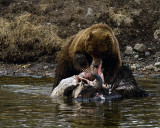 Second Grizzly with a Mouthful of Bison.jpg
