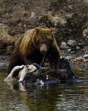 Second Grizzly at the LeHardy Rapids Carcass.jpg