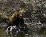 Second Grizzly Standing on the Bison Carcass.jpg