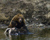 Second Grizzly at LeHardy Rapids Lunging Across Carcass.jpg