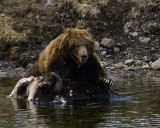 Second Grizzly at LeHardy Rapids Lunging Across the Carcass.jpg