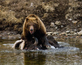 Second Grizzly Guarding Carcass at LeHardy Rapids.jpg