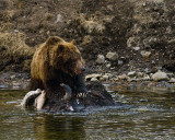Second Grizzly on the Bison Carcass.jpg
