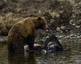 Second Grizzly at LeHardy Rapids Sticking Out his Tongue.jpg