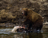 Second Grizzly on the Bison Carcass at LeHardy Rapids.jpg