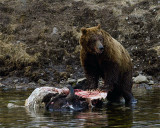 Second Grizzly Over Open Bison Carcass at LeHardy Rapids.jpg
