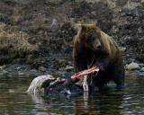 Second Grizzly at LeHardy Rapids Checking His Surroundings.jpg