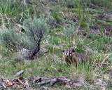 Badger by Yellowstone Picnic Area.jpg