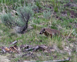 Badger in the Grass by Yellowstone Picnic Area.jpg