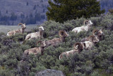 Bighorn Rams on the Hill by Wrecker Pullout.jpg