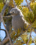 Clark's Nutcracker at Canyon.jpg