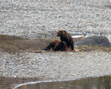 Grizzly in Lamar Canyon on the Bison Carcass.jpg