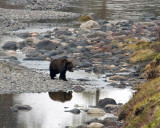 Grizzly in Lamar Canyon Crossing the River.jpg