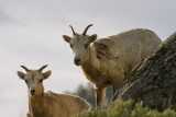 Two Bighorn Ewes Above Yellowstone Picnic Area.jpg