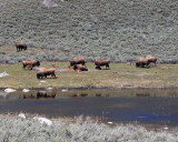 Bison with Calves at the Ponds.jpg