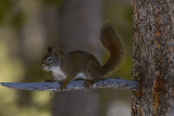Squirrel Near Fishing Bridge.jpg