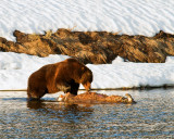 Grizzly Boar on a Bison Carcass at LeHardy Rapids.jpg
