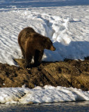 Grizzly on the Shore of the Yellowstone River.jpg