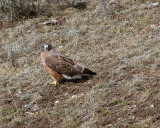 Red Tail Hawk on the Hillside in the Hayden Valley.jpg