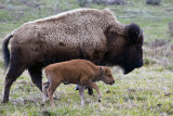 Bison Calf with Mom in the Lamar.jpg