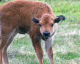 Bison Calf with His Back Up.jpg
