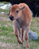 Bison Calf Running.jpg