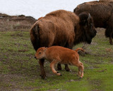 Bison Calf on the Hop.jpg