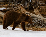 Grizzly at Obsidian Creek on the Snow.jpg