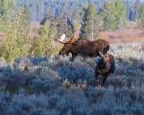 Bull and Cow Moose on the Run.jpg
