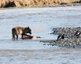 Wolf on a carcass in the Lamar River.jpg