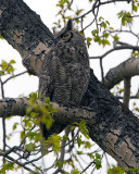 Great Horned Owl on a Branch.jpg