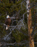 Bald Eagle at LeHardy Rapids.jpg