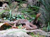 Copperhead on the Trail.jpg