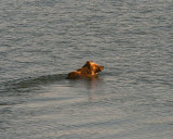 Grizzly in the Lake.jpg