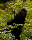Black Bear Chewing on Leaves.jpg