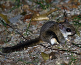 Southern Flying Squirrel on the Ground.jpg