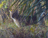 Bobcat in the Brush.jpg